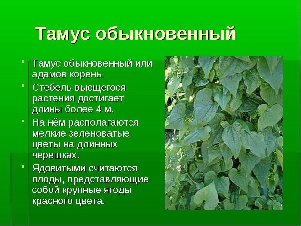 Адамов корень — лечебные свойства, применение и рецепты настойки