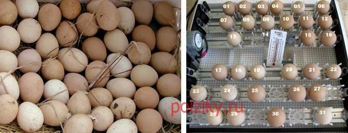 Яйца цесарки: особенности, польза и вред, применение