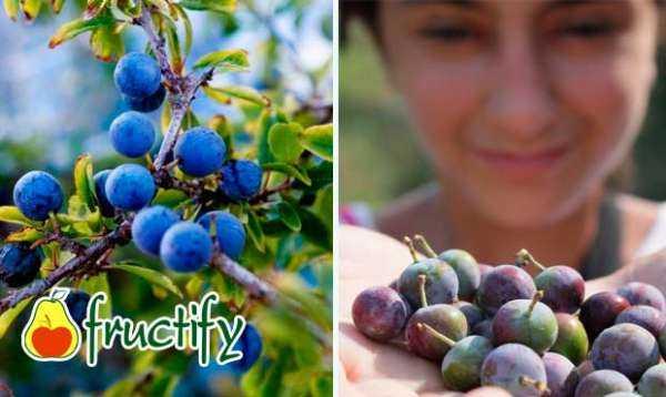 Растение тёрн: польза и вред, лечебные свойства