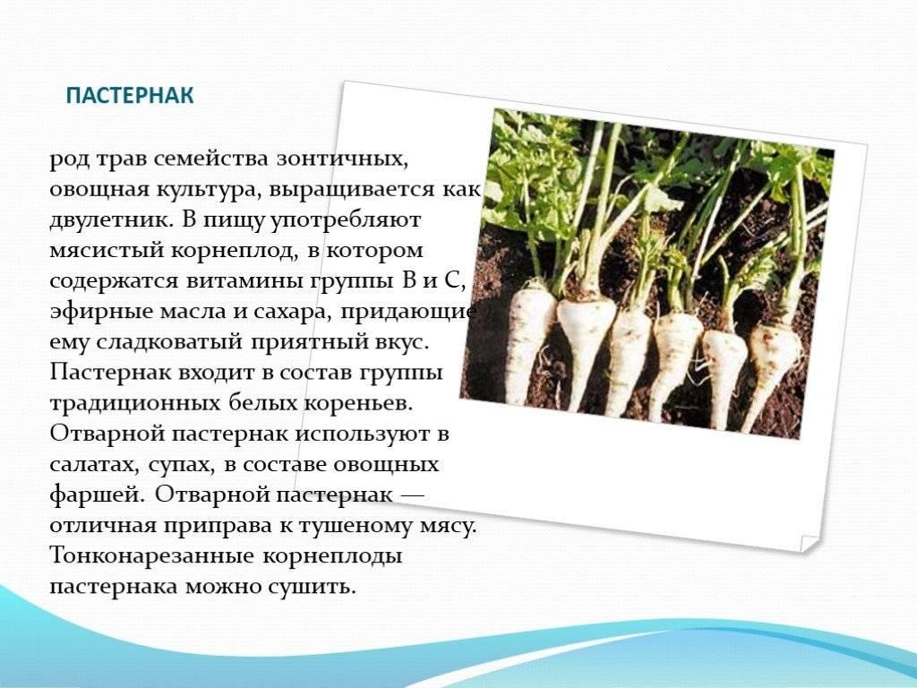 Пастернак растение польза и вред выращивание
