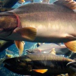 Польза и вред толстолобика, пищевая ценность костлявой рыбы