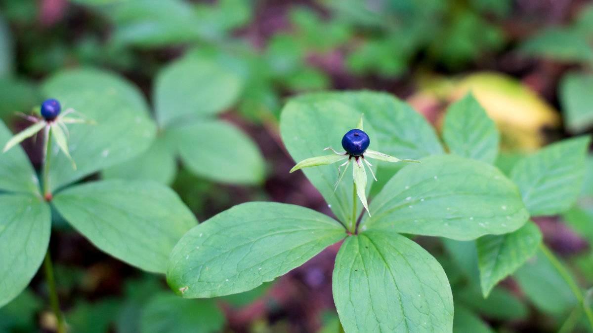 Ядовитая ягода вороний глаз: описание и лечебные свойства