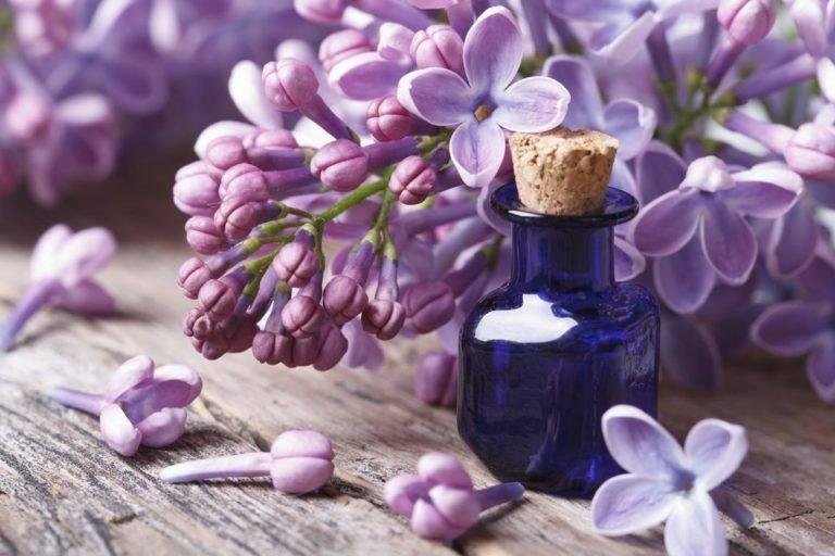 Цветы сирени – лечебные свойства и применение в народной медицине