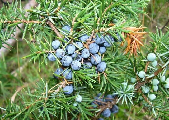 Какими лечебными свойствами обладают маленькие плоды можжевельника