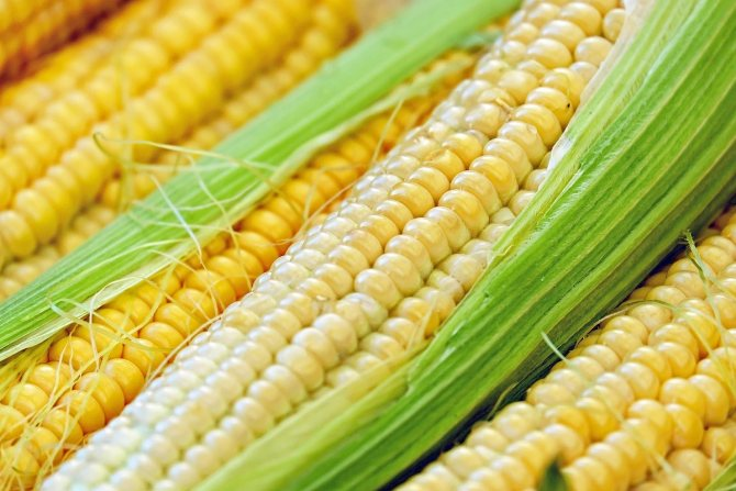 Кукуруза. польза и вред для здоровья вареной, консервированной, сырой, жареной