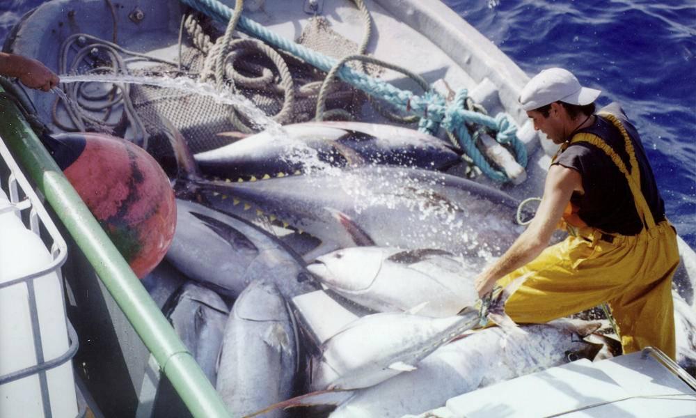 Тунец: польза и вред для организма человека