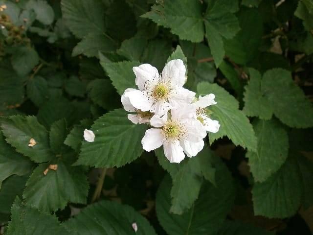 Ежевика: полезные свойства листьев, плодов растения и противопоказания