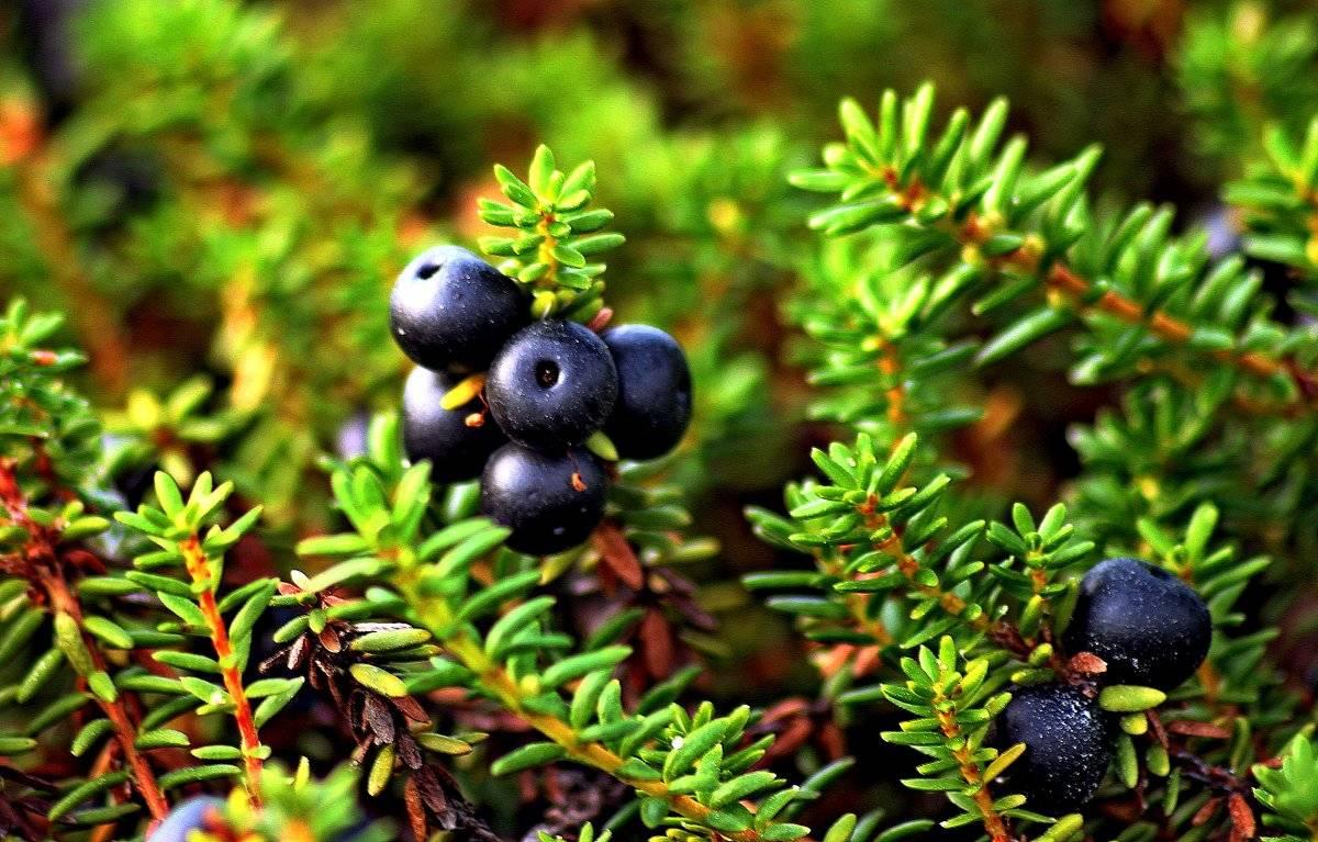 Трава шикша лечебные свойства и противопоказания