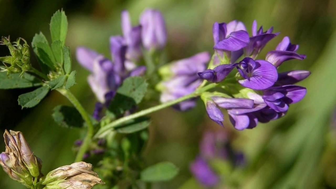 Трава люцерна: чем полезна, что лечит, как использовать