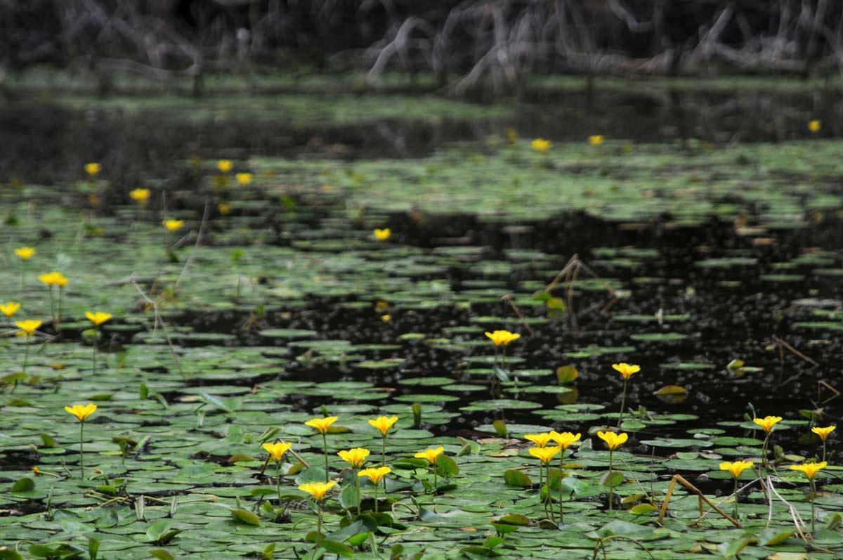 Кувшинка – нежный цветок на воде