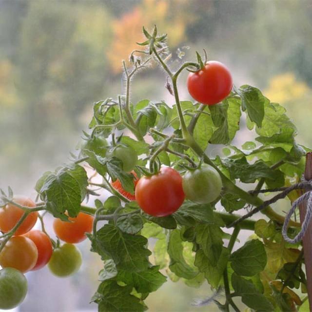 Свежие помидоры польза и вред для организма
