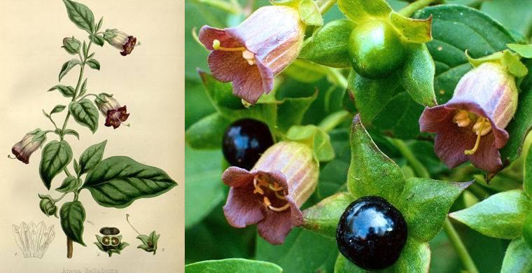 Трава красавка (белладонна): лечебные свойства, фото, применение, противопоказания