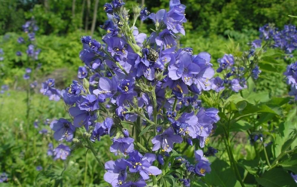 Синюха голубая: лечебные свойства растения и противопоказания
