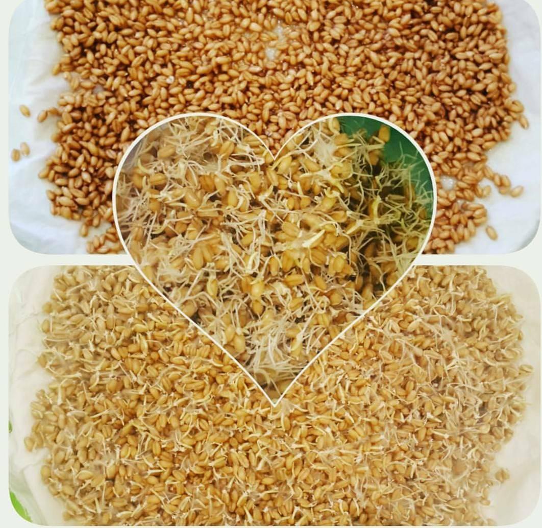 Проростки пшеницы для похудения и очищения