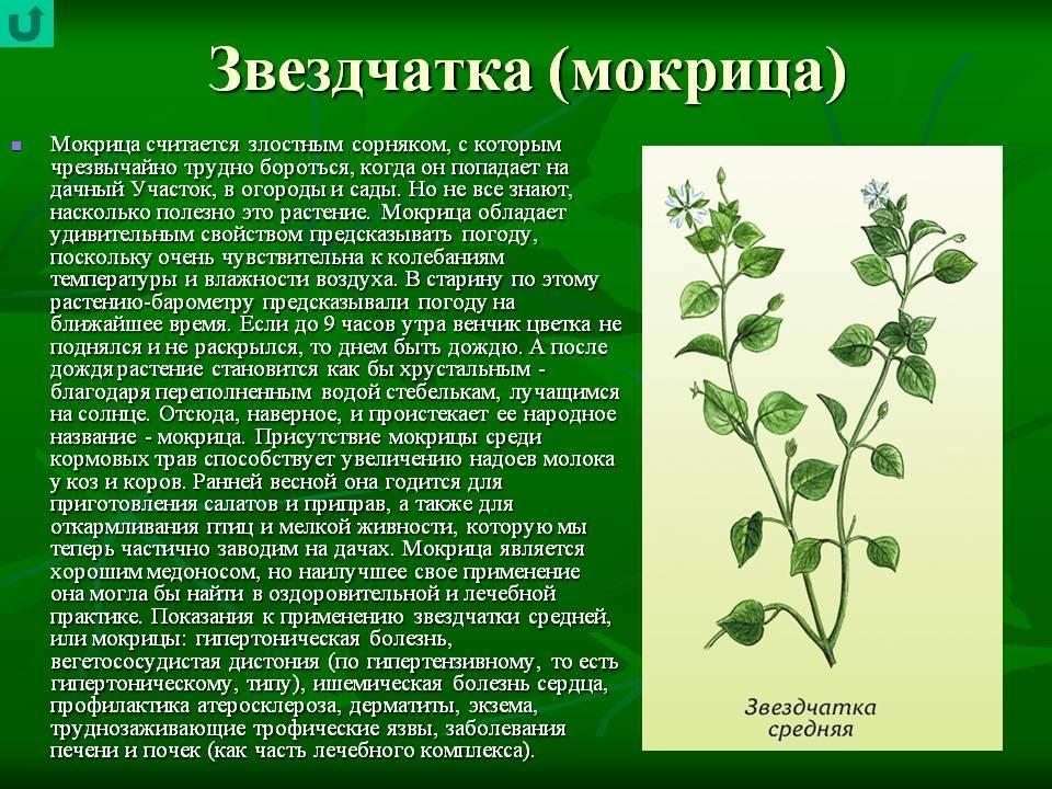 Лечебные свойства травы мокрицы, применение при похудении, больных суставах, в косметике и кулинарии