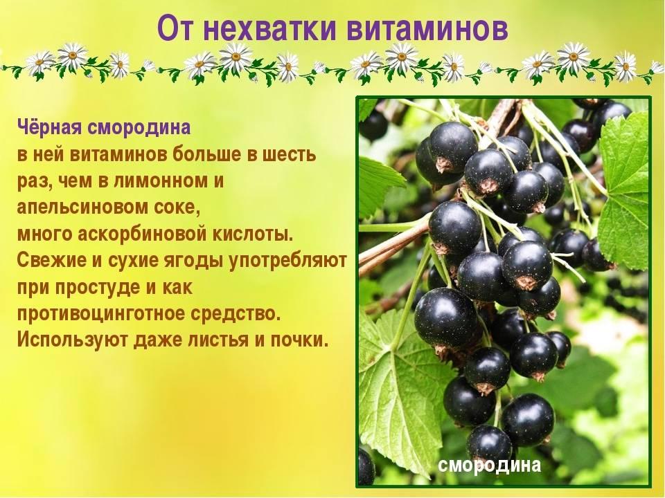 Черная смородина: полезные свойства, противопоказания, польза и вред