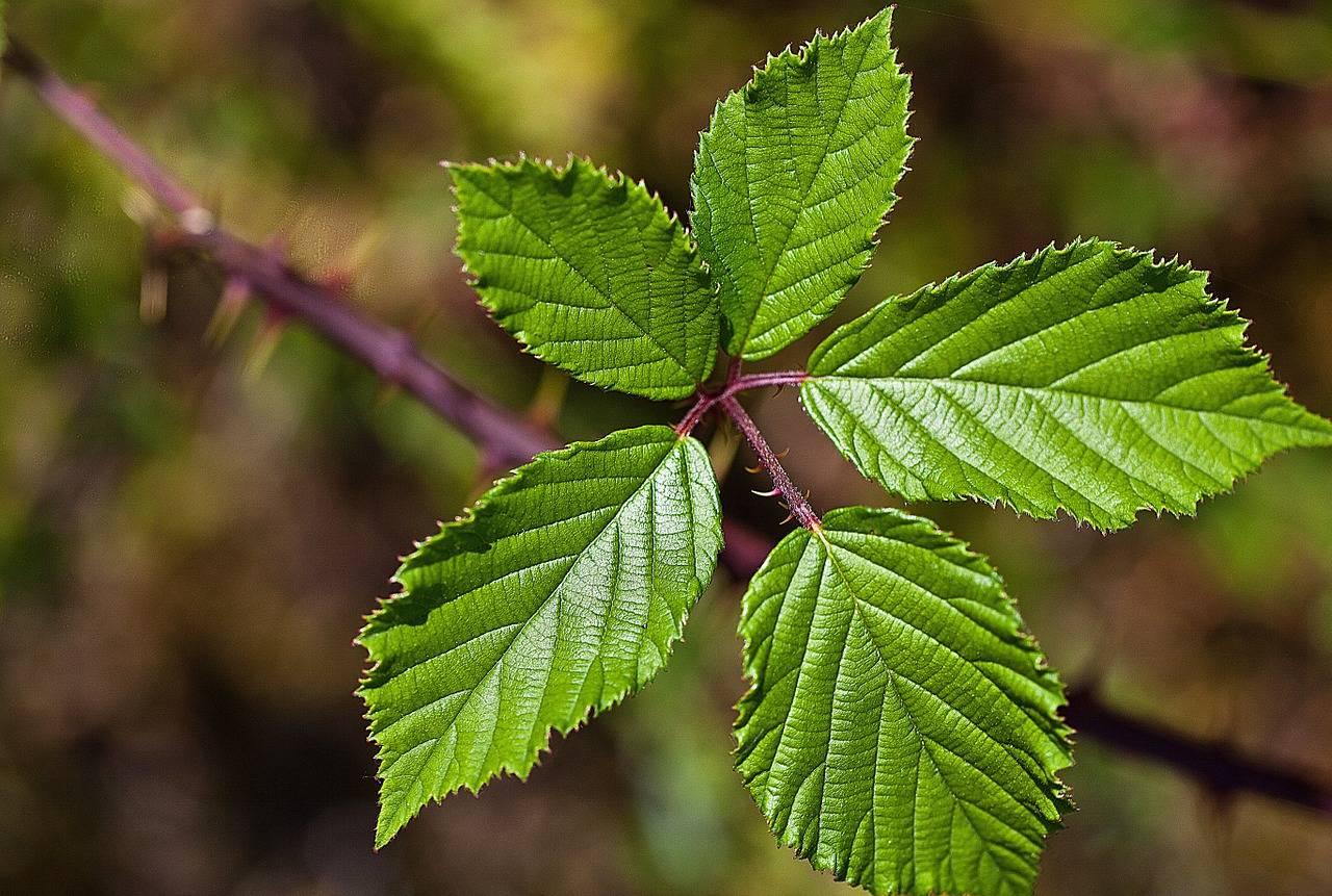 Чай из листьев ежевики — как приготовить, заготовить сырье, польза и вред