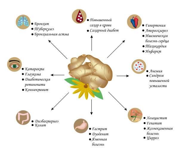 Топинамбур полезные свойства и противопоказания