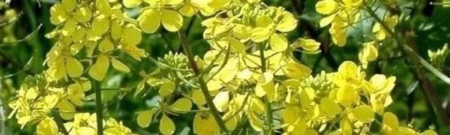 Растение горчица: польза и вред для организма человека