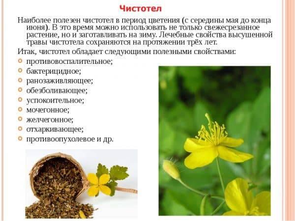 Чистотел: лечебные свойства, противопоказания, фото