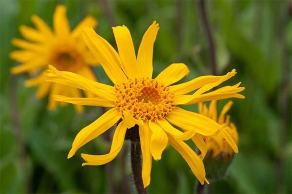 Арника горная – лекарство от многих болезней