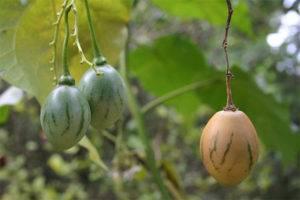 Розмарин: полезные свойства и противопоказания к применению пряного растения