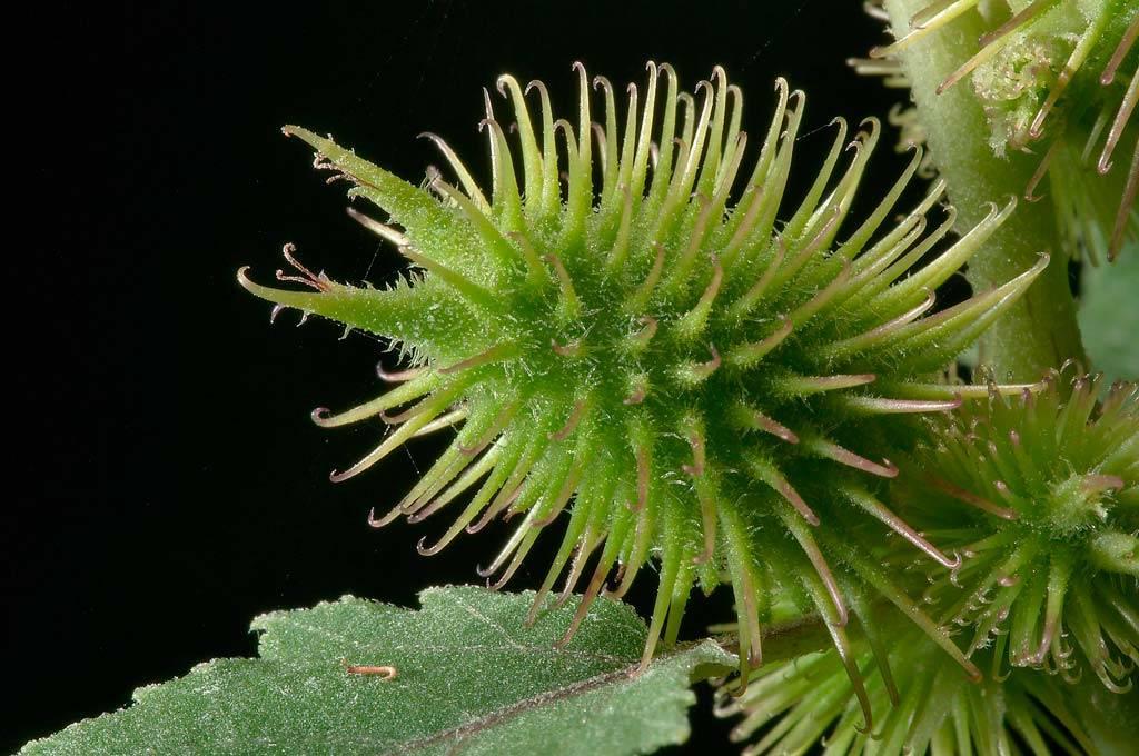 Дурнишник (трава) — лечебные свойства и противопоказания, как принимать