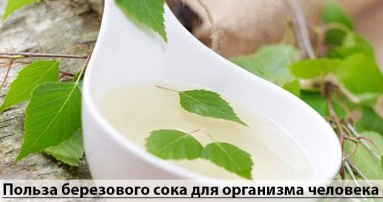 Березовый сок: польза и вред. как и когда собирать