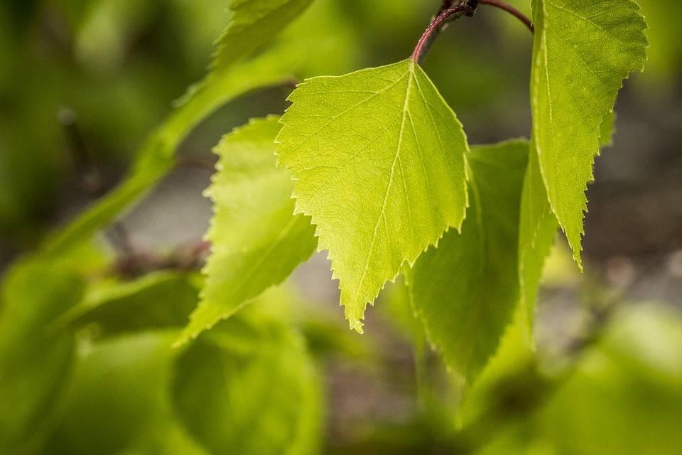 Листья березы – лечебные свойства и противопоказания
