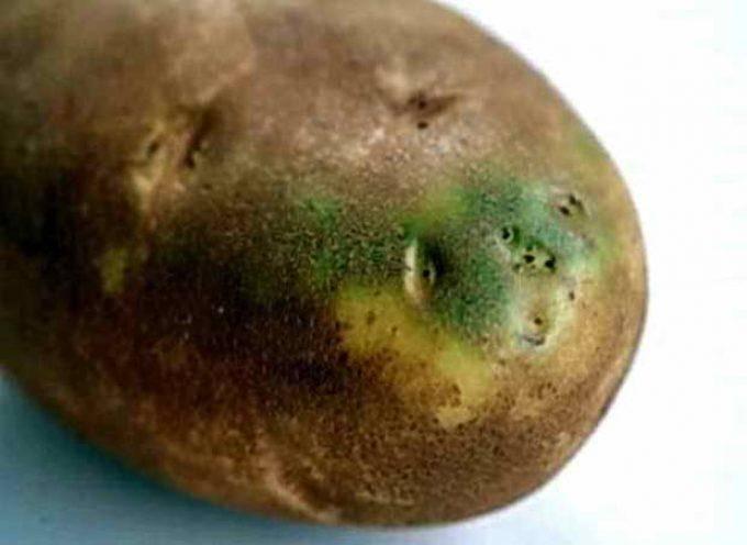 Зеленую картошку можно ли есть, в чем ее вред?