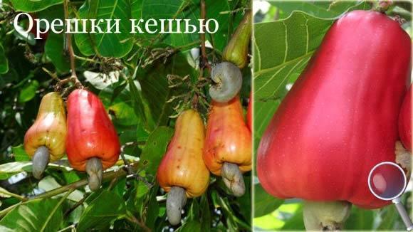 Орехи кешью: полезные свойства и вред для организма