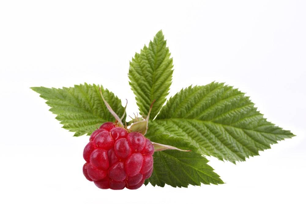 Листья малины:состав, полезные свойства, применение
