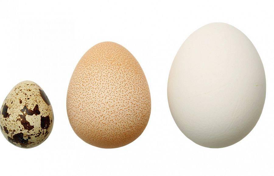 Яйца цесарки - польза и вред для здоровья