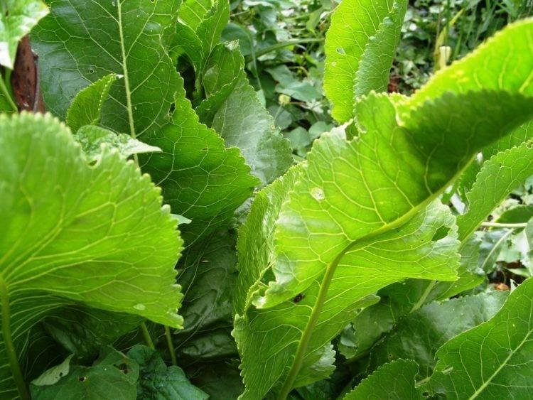 Листья хрена – лечебные свойства и применение