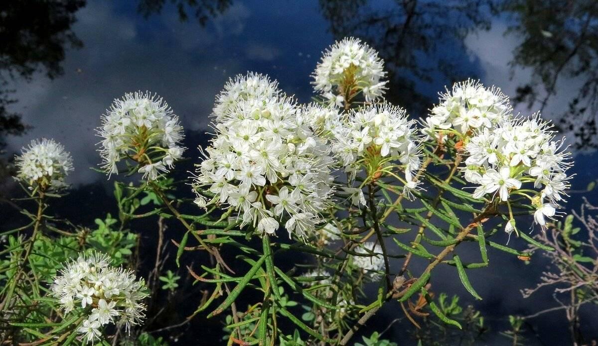 Багульник болотный— лечебные свойства и противопоказания к применению