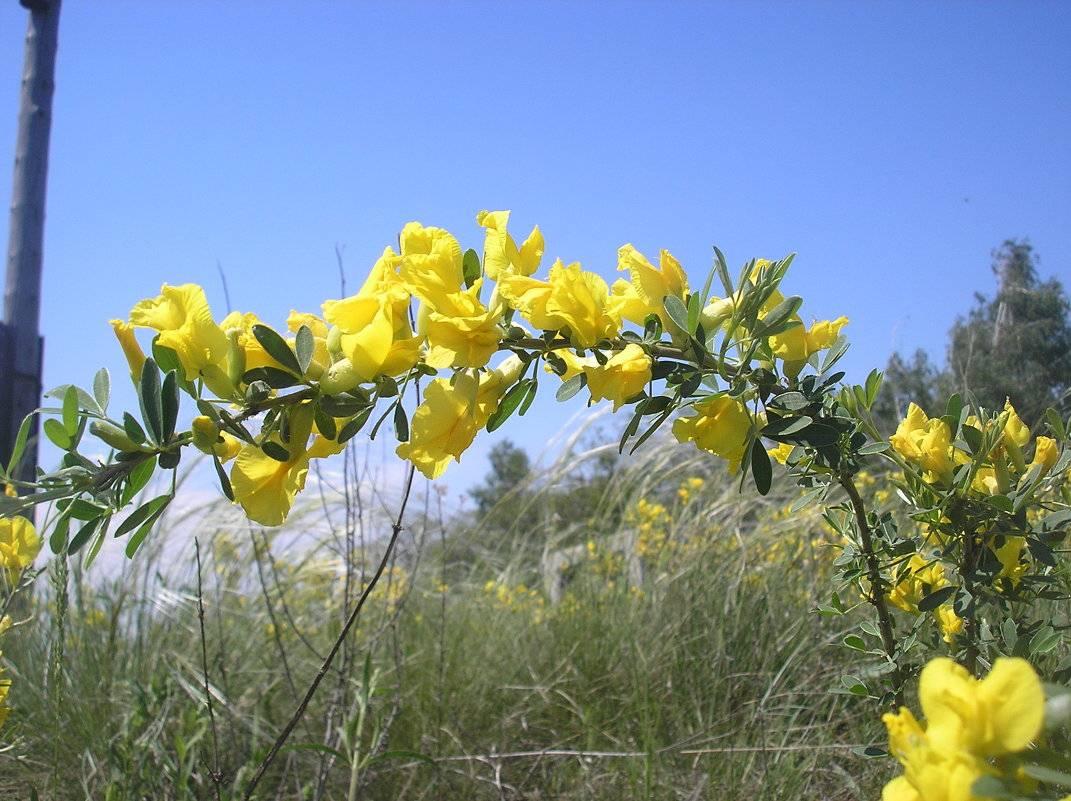 Дрок желтый