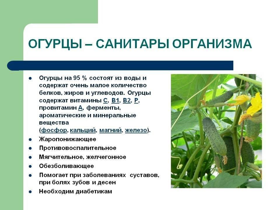 Огурец: польза и вред для организма взрослого и ребенка