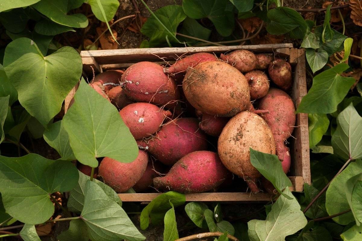 Батат, польза, вред и лечебные свойства, рецепты приготовления батата