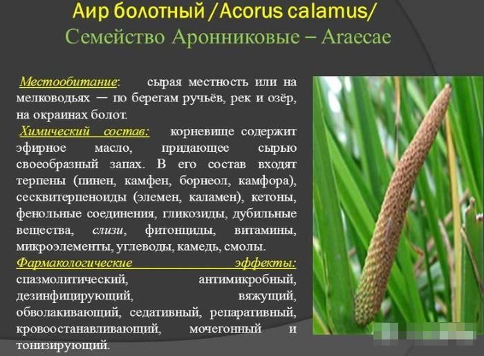 Описание аира болотного: польза и вред, инструкции по применению, сбор
