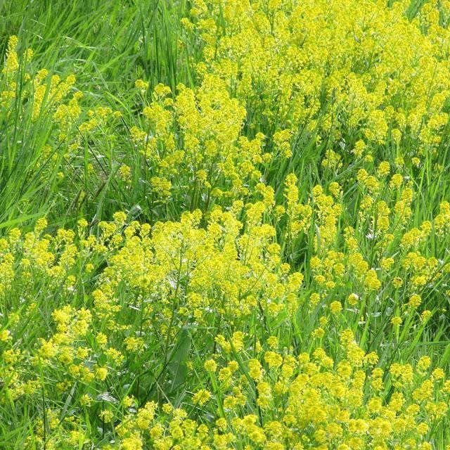Трава сурепка: лечебные свойства и противопоказания