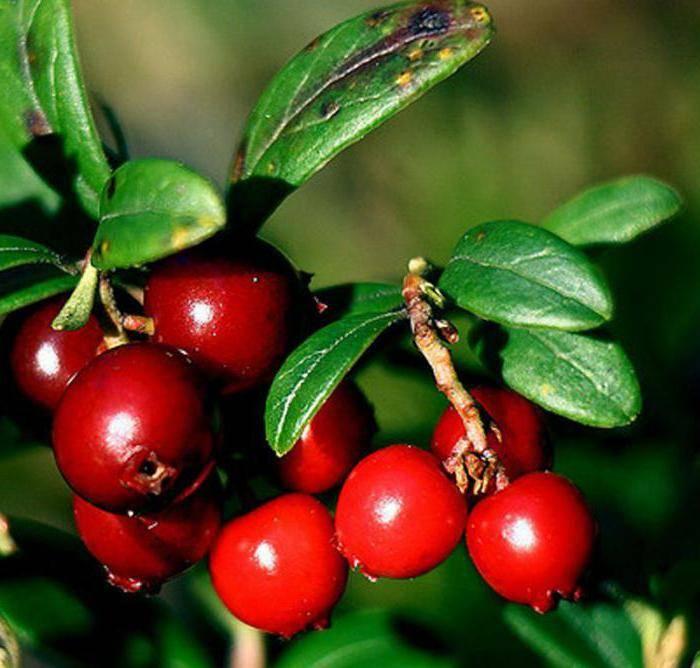 Листья брусники, лечебные свойства и противопоказания