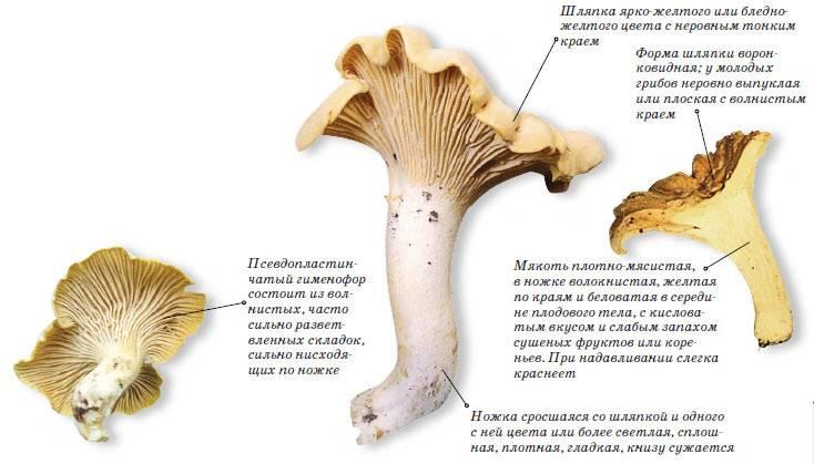 Польза и вред грибов лисичек для организма человека. грибы лисички — удивительные лесные целители