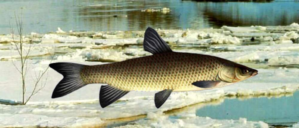 Белый амур костлявый или нет? польза и вред рыбы белый амур, примеры рецептов