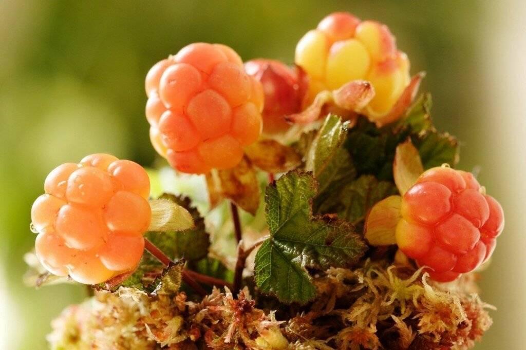 Варенье из морошки: полезные свойства и вред