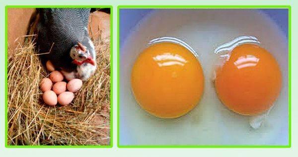 Яйца цесарки: полезны или нет?