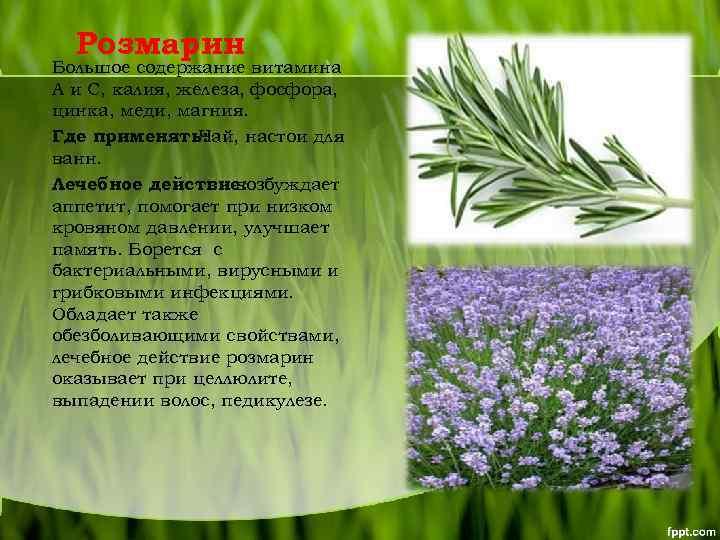 Розмарин: полезные свойства и противопоказания, фото растения