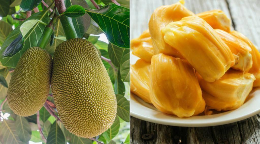 Польза джекфрута и его вред: калорийность, свойства, показания и противопоказания к употреблению плодов хлебного дерева (115 фото и видео)