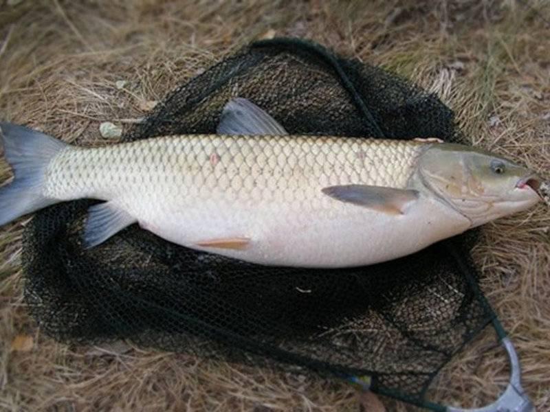 Белый амур рыба польза и вред