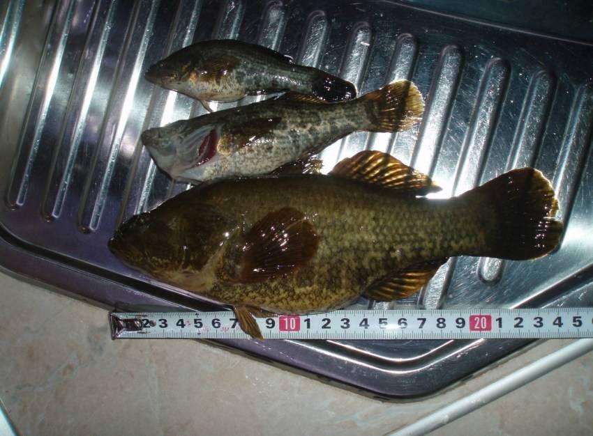 Всё о рыбе ротан:  фото, описание, откуда взялся
