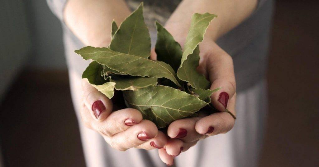 Польза и вред лаврового листа для здоровья организма